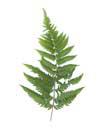 Fern Hill right fern frond